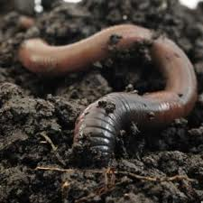 Not my personal worm.  Image via itzybitzyfarm.com, great small-farming blog.