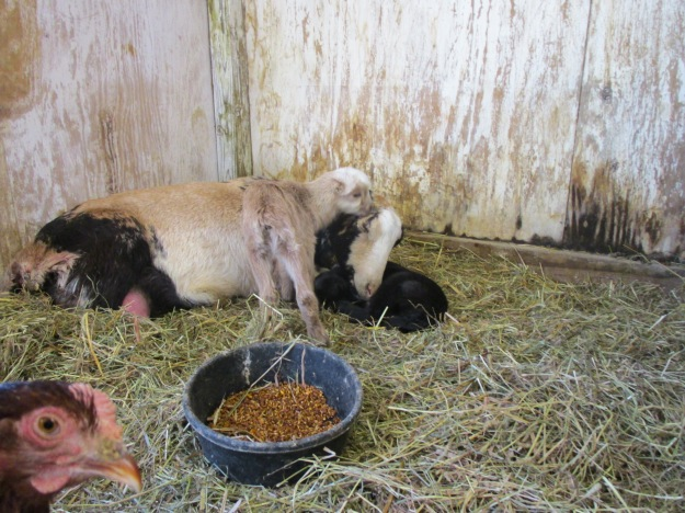 goatbabes 021